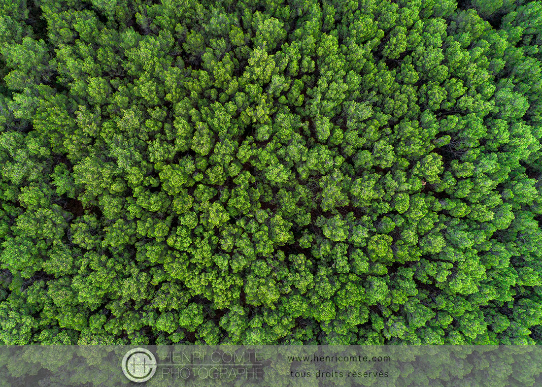 Forêt de pins - Hérault